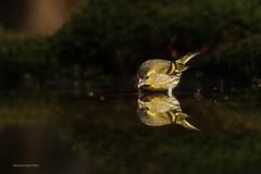 Sun catcher (Manon van der Burg) Tags: water birdwatching sigma100400mm canon80d happydays sunshine vogelen birding espelo hidephotography birdphotography birdwatcher birdlover drinking spiegeling reflection mannetje sijs siskin
