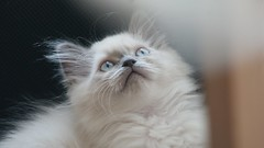 Take me back to the kittens :) (Kim's Pics :)) Tags: kitten pippin soft fluffy curious wideeyed adorable cute staring blueeyes ragdoll himalayan blur lookingabove fur furry whiskers cat readytopounce