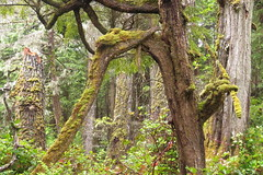 IMG_6572 (Forestplanet) Tags: great bear rainforest 2017