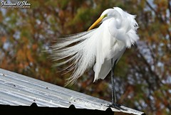 Tin roof...gusted (Shannon Rose O'Shea) Tags: shannonroseoshea shannonosheawildlifephotography shannonoshea shannon greategret egret bird beak feathers wings windy breezy breedingplumage plumage lores tinroof skinnylegs birdyfeet longtoes trees leaves bokeh alligatorbreedingmarshandwadingbirdrookery gatorland orlando florida gatorlandbirdrookery rookery outdoors outdoor outside colorful colourful nature wildlife waterfowl ardeaalba art photo photography photograph wild wildlifephotography wildlifephotographer wildlifephotograph wwwflickrcomphotosshannonroseoshea flickr smugmug camera femalephotographer girlphotographer womanphotographer shootlikeagirl shootwithacamera throughherlens canon canoneos80d canon80d canon100400mm14556lisiiusm eos80d eos 80d canon80d100400mmusmii 2019 roof gusted white