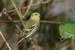 K32P4670c Siskin, Lackford Lakes, February 2019 (bobchappell55) Tags: wild bird wildlife nature lackfordlakes suffolk siskin woodland carduelisspinus