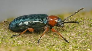 Rothalsiges Getreidehähnchen (Oulema melanopus)