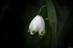 spring snowflake (Christine_S.) Tags: canon macro eos mirrorless m5 garden japan nature spring white flowers flower blossom leucojumvernum closeup ngc npc