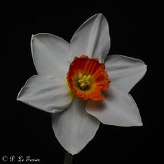 Narcisse 04 (letexierpatrick) Tags: narcisse nature fleur flower fleurs flowers fondnoir floraison botanique bouquet black noir printemps proxiphotographie plante garden jardin joncquille nikond7000 nikon