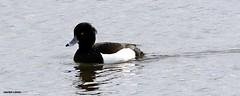 J78A0258 (M0JRA) Tags: swans robins birds humber ponds lakes people trees fields walks farms traylers ducks