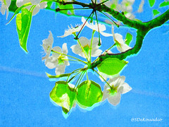 Bradford Pear Tree Flowers (Stephenie DeKouadio) Tags: art artistic artwork abstract abstractart abstractflower abstractflowers abstractpainting painting flowersabstract flowerabstract macroabstract macropainting outdoor beautiful beauty branches branch bradfordpeartree macro colorful blueandgreen blossom blossoms