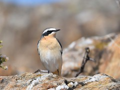 Chasco-cinzento / Northern Wheatear (anacm.silva) Tags: chascocinzento northernwheatear chasco wheatear ave bird wild wildlife nature natureza naturaleza birds aves serradafreita portugal oenantheoenanthe coth5