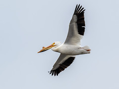 American White Pelican (shooter1229) Tags: americanwhitepelican avian bird flight heronpark nature outdoors wetlands wildlife