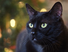 Christmas Greetings (KsCattails) Tags: cat christmas holiday home kathrynkennedy kscattails pyewacket tree