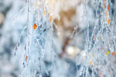 Frozen (Pásztor András) Tags: winter frost sun nature snow cold leaf plant ice background beautiful season outdoor weather fall closeup tree natural white crystal light macro autumn hoarfrost freeze christmas seasonal beauty covered park bright green blue forest frosty december texture flora frozen icy branch landscape morning foliage sky sunlight fresh abstract dslr nikon d5100 hungary andras pasztor photography 2019 sigma 70300mm
