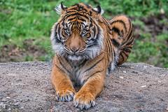 your best shot (writing with light 2422 (Not Pro)) Tags: pointdefiancezoo washingtonstate tiger sumatrantiger bandar speciessurvivalplan asianforestsanctuary eyes stare gaze feline cat