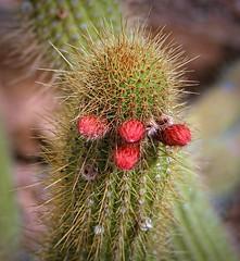 Cactus Bloom #2 Phoenix Desert Botanical Garden (randyherring) Tags: wildflower desertplants cactus bloom phoenix az