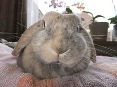 """Got treats?"" (eveliensbunnypics) Tags: bunny rabbit lop lopeared polly face closeup indoor inside house towel blankie nov"