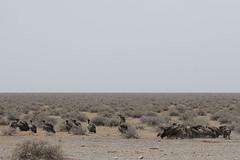 20181009_1753_Etosha_Vautour africain (fstoger) Tags: namibie namibia wildlife safari afrique africa etosha nature viesauvage vautourafricain whitebackedvulture gypsafricanus