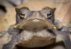 Sapo crestado/ Crested toad (Rhinella margaritifera) (Jacobo Quero) Tags: crestedtoadrhinellamargaritifera sapocrestado sapo anfibio amphibia toad amazon amazonía herping wildlifephotography fotografíadenaturaleza nikon
