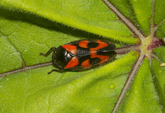 Red & Black Froghopper (Cercopis vulnerata) (wayne.withers1970) Tags: small pretty color colorful nature natural colour colourful wild wildlife wales macromonday flickr dof bokeh naturephotography country countryside outside outdoors alive fauna flora canon sigma light blur black white red orange green fine dark macro macromondays invertebrate bug animal insect wwt llanelli plant vegetation leaf froghopper spring summer