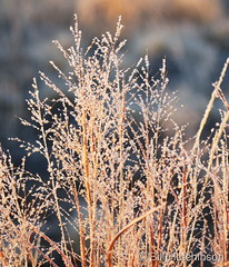 December 29, 2018 - Beautiful frost covered grasses.  (Bill Hutchinson)