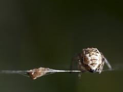 Cyclosa mulmeinensis (rainerbreitling) Tags: araneae araneidae cyclosa cyclosamulmeinensis spider japan okinawa 沖縄諸島 spinne spin araignée araña örümcek αράχνη クモ ryukyuislands nanseiislands