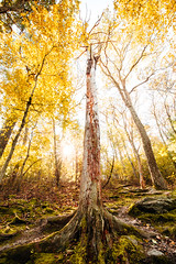 Tree in the Way [10.25.18] (Andrew H Wagner   AHWagner Photo) Tags: 5dmk3 5d3 5dmkiii 5dmarkiii 5dmark3 canon eos 1635l 1635mm f4 f4l is usm ultrawideangle wideangle sun rays flare sunlight sunny sunshine goldenlight golenhour nature trees tree leaves landscape mountains valley outdoors outside explore exploration exploring hiking fall autumn pa pennsylvania pinegrovefurnacestatepark pinegrove statepark michaux michauxstateforest stateforest mountain appalachian