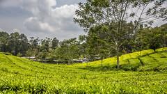 Visit to a tea plantation (Hans van der Boom) Tags: holiday vacation indonesia indonesië asia java westjava tea plantation id