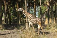 Giraffe (Steve Dawson.) Tags: giraffe giraffa animal johnnytall disneys animalkingdom park baylake florida usa holiday canoneos50d canon eos 50d ef28135mmf3556isusm ef28135mm f3556 is usm 8th march 2018