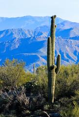 Saguaro Cactus (Buck--Fever) Tags: arizona arizonadesert arizonawonders saguaro saguarocactus cactus landscape telephotolenscompression telephoto canon60d tamron18400lens pinalmountains mountains mountain florencearizona florencekelvinhighway nature centralarizona