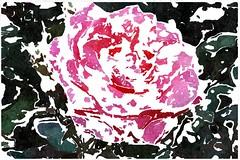 Frieden sangen Gottes Heere (amras_de) Tags: rose rosen ruža rosa ruže rozo roos arrosa ruusut rós rózsa rože rozes rozen roser róza trandafir vrtnica rossläktet gül blüte blume flor cvijet kvet blomst flower floro õis lore kukka fleur bláth virág blóm fiore flos žiedas zieds bloem blome kwiat floare ciuri flouer cvet blomma çiçek zeichnung dibuix kresba tegning drawing desegnajo dibujo piirustus dessin crtež rajz teikning disegno adumbratio zimejums tekening tegnekunst rysunek desenho desen risba teckning çizim