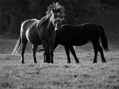 Séró. (Reggae45026) Tags: lovak sörény feketefehér