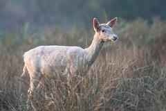 Fallow Deer Dama dama White (Barbara Evans 7) Tags: fallow deer dama white female new forest uk barbara evans7