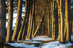Falling Tree in the Clump (stevedewey2000) Tags: salisburyplain wiltshire landscape homemadelens diy trees treescape zeiss ikon talon 85mmf28 projectorlens winter snow 32