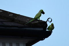 This lovely moss will make our nest nice and cosy.  (Wife munches on maple seed) (HoosierSands) Tags: ringneckedparakeets ealing london