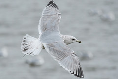 Iceland Gull (Thayer's) (Ryan Griffiths) Tags: thayers iceland gull ontario winter wellandcanal thorold canada