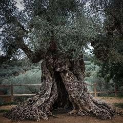 treebeard (*BegoñaCL) Tags: tree thousandyearold mediterráneo elsports maestrat valencia begoñacl olive treeolive hike