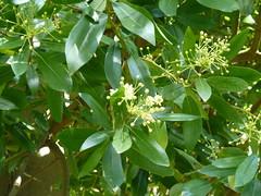 20130525_Powerscourt_DrimysWinteri_Cutler_P1470226 (wlcutler) Tags: winteraceae drimys drimyswinteri