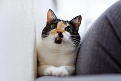 _DSC9649_DxO-Edit-2-1 (donnicky) Tags: cat home pet publicsec sofa лилу