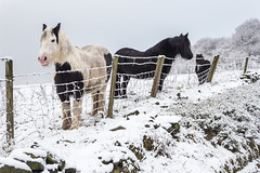 Horses in the snow (Maria-H) Tags: horses snow winter glossop derbyshire highpeak uk olympus omdem1markii panasonic 1235