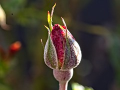Nacimiento... (Javilondel79) Tags: flor olympus sigma 105mm macro naturaleza rosa zuiko sigma105mm