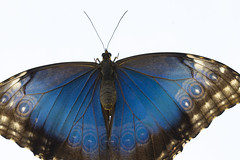 blue butterfly (bnbalance) Tags: greatphotographers butterfly blue nature morpho