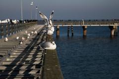 Seebrücke (michael_hamburg69) Tags: timmendorferstrand ostholstein germany deutschland ostsee balticsea seebrücke pier beach strand timmendorf lübeckerbucht februar 2019 ammeer möwe seagull kormoran