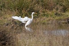 cigüeña blanca (klaudia_2018) Tags: deltadelllobregat