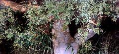 IMG_6186IA Fumihiko Gommi Ombres de forêt: Vaste parfum de verdure  Forest shadows: Vast verdant scent 2011 Barcelone Musée Européen d'Art Moderne.(MEAM) Exposition temporaire sur le réalisme japonais contemporain (Hoki Museum) Temporary exhibition on con (jean louis mazieres) Tags: peintres peintures painting musée museum museo espagne spain espana barcelone barcelona museueuropeudartmodern meam