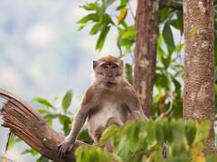 Macaque, Belum, Malaysia (davidpetergibbins) Tags: