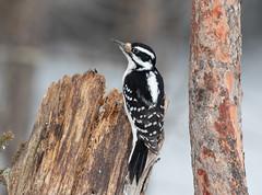 Hairy Woodpecker (Laura Erickson) Tags: saxzimbog stlouiscounty hairywoodpecker picidae piciformes birds species places minnesota picoidesvillosus