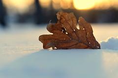 after the snowstorm (joy.jordan) Tags: leaf texture snow light bokeh sunset winter nature ontheground