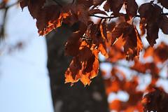 Dead Leaves In The Sun (gripspix) Tags: 20190206 iscostellagon projektionsobjektiv projectionlens beech buche autumnleaves herbstblätter backlit gegenlicht