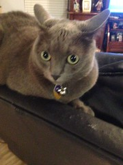Skye chillin out.. (Steve Aynes) Tags: florida steveaynes cats cuddly soft pet animal kitty cat skye russianblue