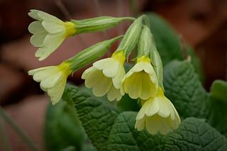Wiesen-Schlüsselblume (Primula veris)