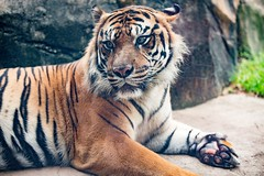 tiger (Ronnie Newman Photography) Tags: cat tiger tigers mammal animal animals animalphoto animalphotography animalphotos photography photos photo photographer nikon nikond750 nikonphotography wallpaper