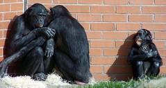 Twycross Zoo (dickieb62) Tags: twycross zoo apes monkeys chimps animals family wildanimal endangered