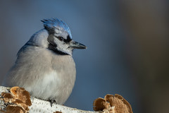 Blue Jay-44361.jpg (Mully410 * Images) Tags: jay birdwatching birding backyard bluejay birds birder bird